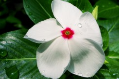 PERVENCHE DE MADAGASCAR  - CATHARANTHUS ROSEUS blanc