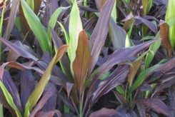 EPINARD HAWAÏEN - CORDYLINE FRUTICOSA 'BLACK MAGIC'