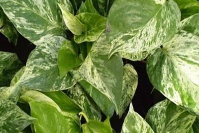 Pothos epipremnum aureus - Plante porte malheur ...