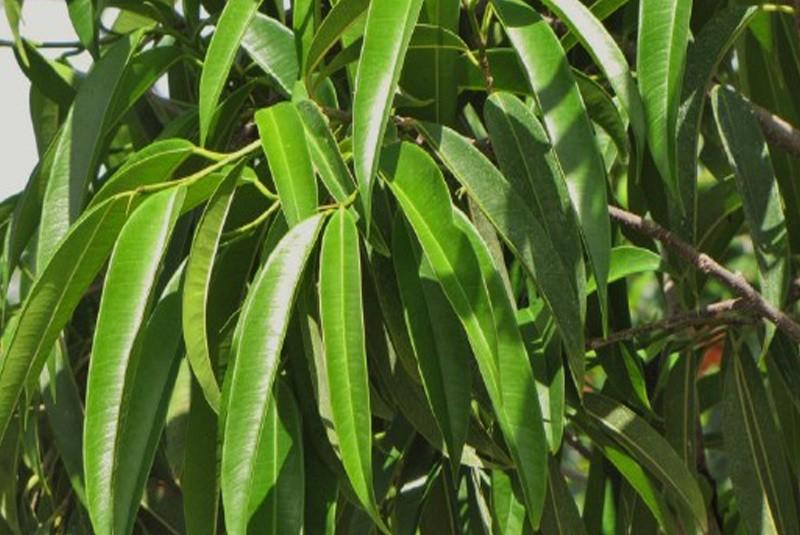 Ficus binnendijkii 39 alii 39 ficus a feuille de sabre for Maladie plante verte