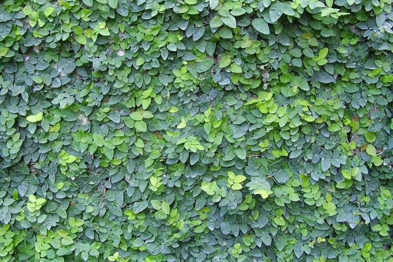 plante grimpante couvre mur