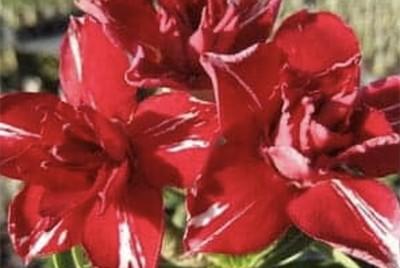 ROSE DU DESERT - ADENIUM OBESUM H2