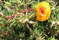 POURPIER orange - PORTULACA GRANDIFLORA