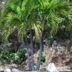 ADONIDIA MERILII - PALMIER ROYAL NAIN QUADRUPLE
