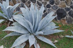 AGAVE D'AMERIQUE - AGAVE AMERICANA