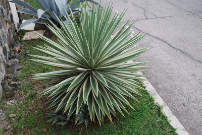 AGAVE BAIONNETTE - AGAVE ANGUSTIFOLIA