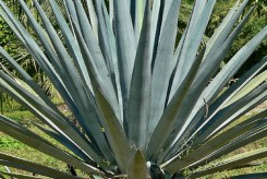 AGAVE - AGAVE TEQUILANA
