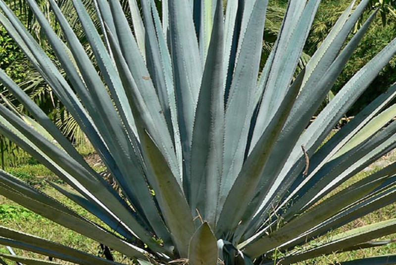 Blue Agave Tequila Plant BLUE AGAVE - AG...