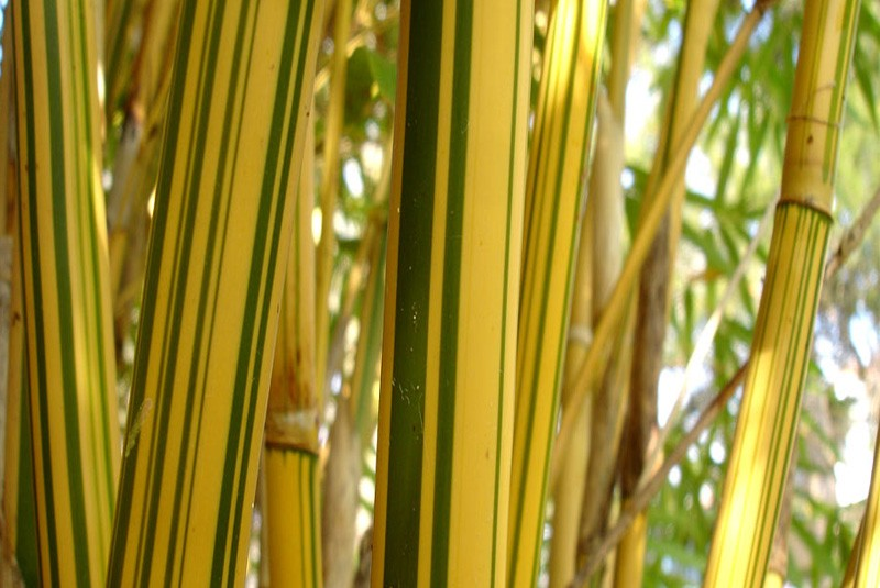 Bambusa Multiplex Alphonse Karr