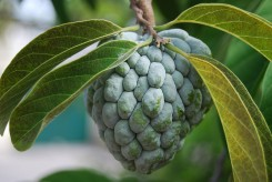 POMME CANNELLE - ANNONA SQUAMOSA