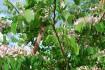 ARBRE A ORCHIDEE - BAUHINIA PURPUREA