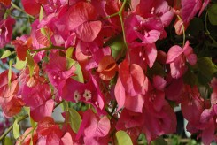 BOUGAINVILLIER - BOUGAINVILLEA JAMES WALKER