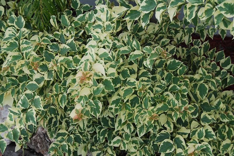 Bougainvillier bougainvillea raspberry ice - Arbuste persistant ombre croissance rapide ...