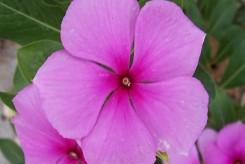 PERVENCHE DE MADAGASCAR  - CATHARANTHUS ROSEUS violette