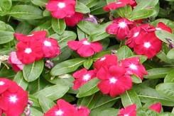 PERVENCHE DE MADAGASCAR  - CATHARANTHUS ROSEUS rouge