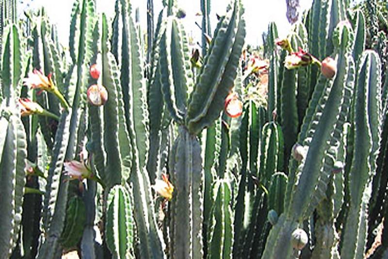 du perou - cereus peruvianus