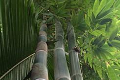 PALMIER NAIN - CHAMAEDOREA SEIFRIZII FLORIDA HYBRID