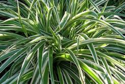 PLANTE ARAIGNEE - CHLOROPHYTUM COMOSUM