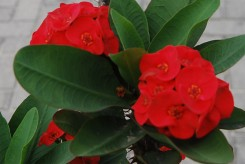 EPINE DU CHRIST - EUPHORBIA THAI RED