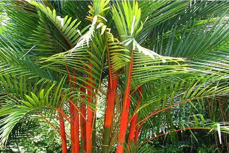 palmier multipliant a tronc rouge cyrtostachys renda. Black Bedroom Furniture Sets. Home Design Ideas