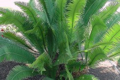 DIOON EDULE