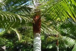 PALMIER A COL ROUGE DE MADAGASCAR - DYPSIS LASTELLIANA