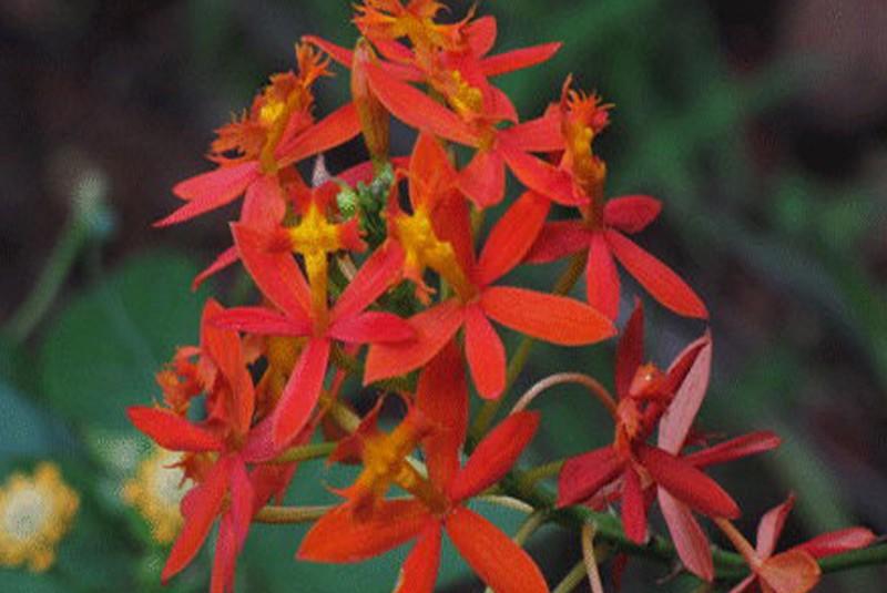 orchidee epidendrum