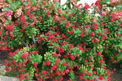 EPINE DU CHRIST - EUPHORBIA AMERICAN BEAUTY ROUGE