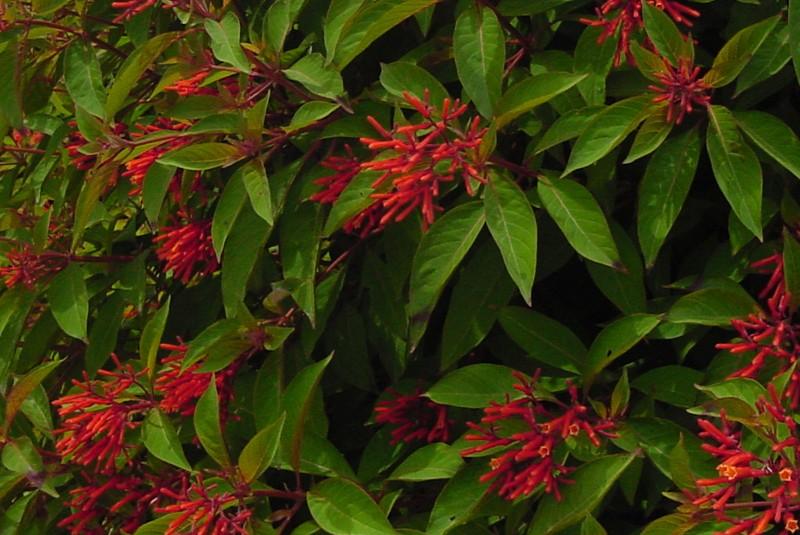 Home firebush hamelia patens