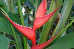 BALISIER - HELICONIA STRICTA
