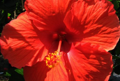 HIBISCUS PRESIDENT RED