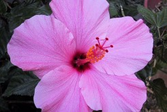 HIBISCUS SEMINOLE ROSE