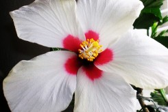 HIBISCUS WHITE WINGS