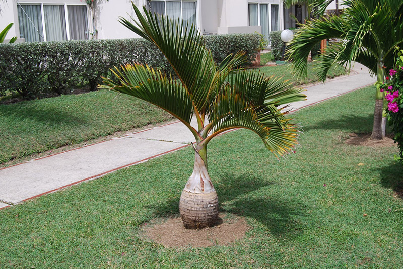 Bottle Palm Hyophorbe Lagenicaulis