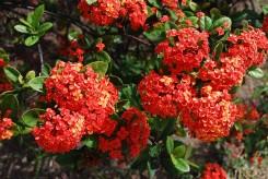 IXORA MAUI orange