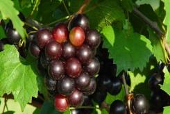 VIGNE à fruits noirs - VITIS VINIFERA