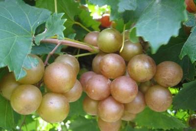 VIGNE à fruits ambrés - VITIS VINIFERA