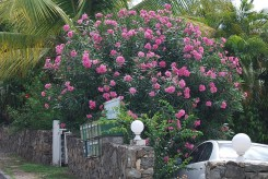 LAURIER ROSE - NERIUM OLEANDER rose