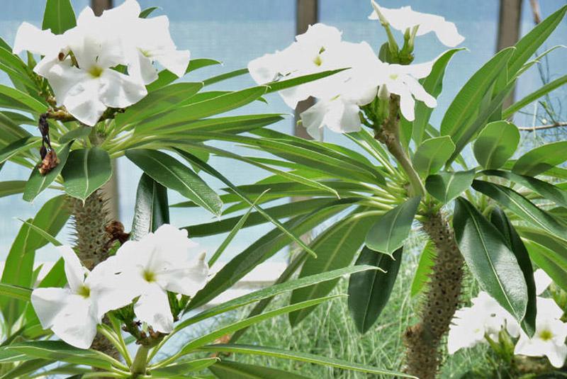 palmier de madagascar pachypodium lamerei. Black Bedroom Furniture Sets. Home Design Ideas