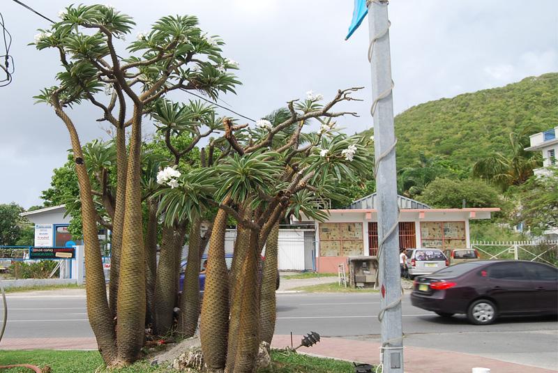 Madagascar palm pachypodium lamerei for Boutique jardin botanique