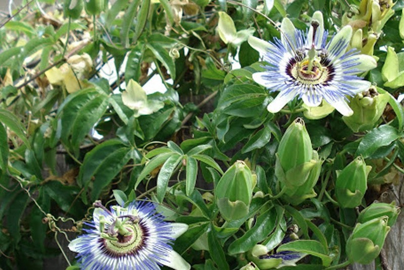 blue passionflower passiflora caerulea. Black Bedroom Furniture Sets. Home Design Ideas