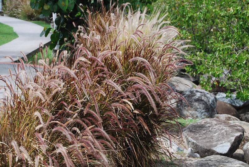 red grass pennisetum setaceum 39 rubrum 39. Black Bedroom Furniture Sets. Home Design Ideas