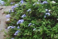 DENTELAIRE DU CAP - PLUMBAGO IMPERIAL BLUE