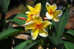 FRANGIPANIER à fleurs jaunes - PLUMERIA