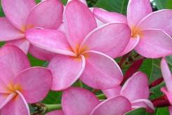 FRANGIPANIER à fleurs roses - PLUMERIA