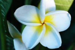 FRANGIPANIER à fleurs blanches coeur jaune - PLUMERIA