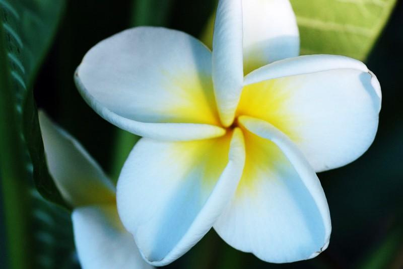 Frangipanier A Fleurs Blanches Coeur Jaune Plumeria