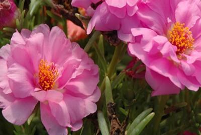 POURPIER rose - PORTULACA GRANDIFLORA