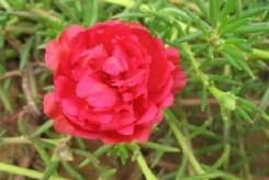 POURPIER rouge - PORTULACA GRANDIFLORA