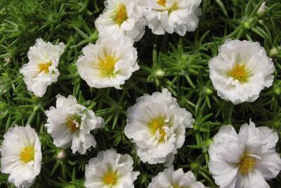 POURPIER blanc - PORTULACA GRANDIFLORA